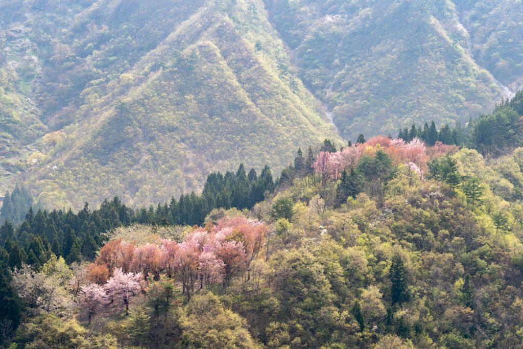 坂戸山の桜